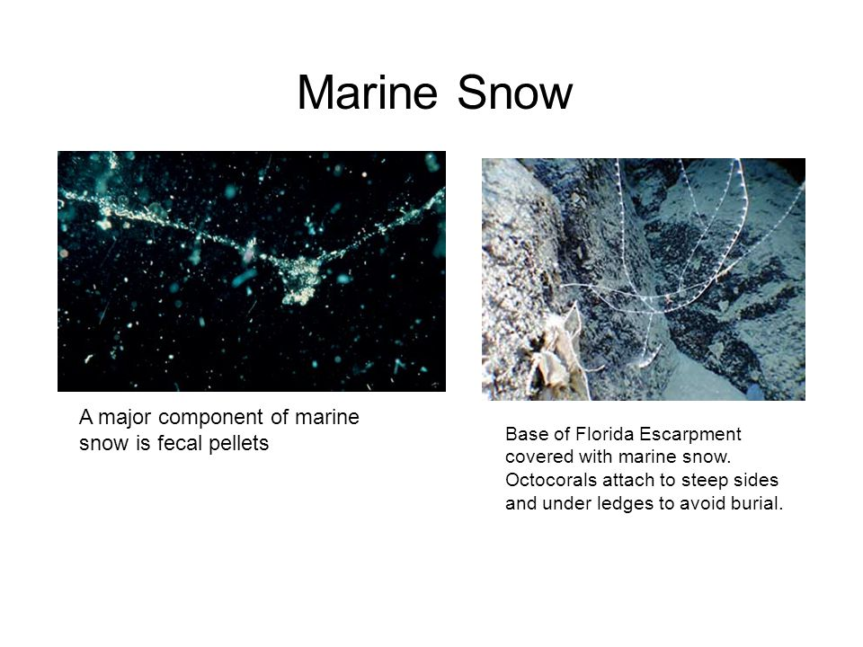 Marine Snow A major component of marine snow is fecal pellets