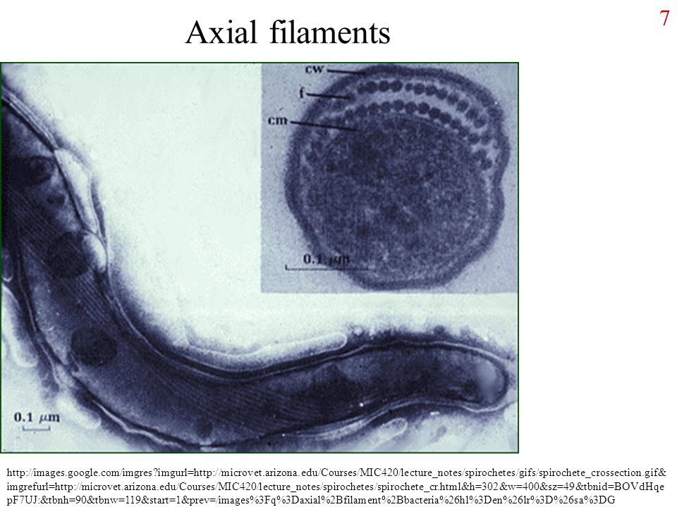 Axial filaments
