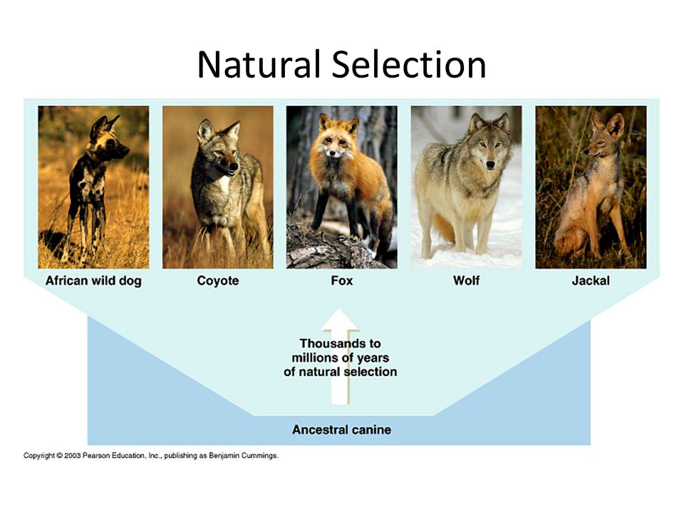 Natural Selection Descent with Modification