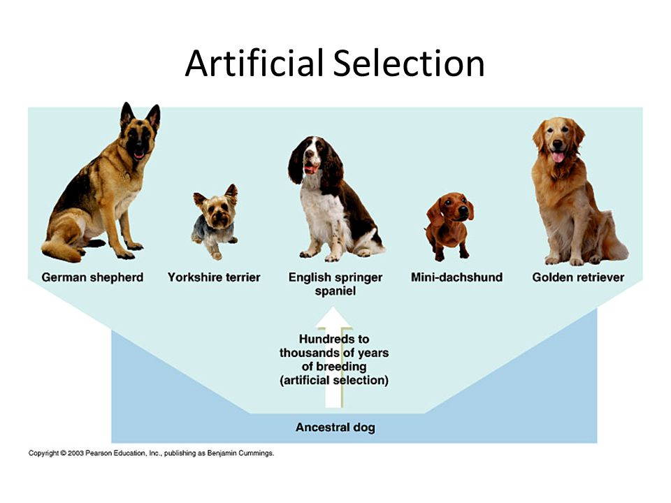 Artificial Selection Darwin used artificial selection as an argument