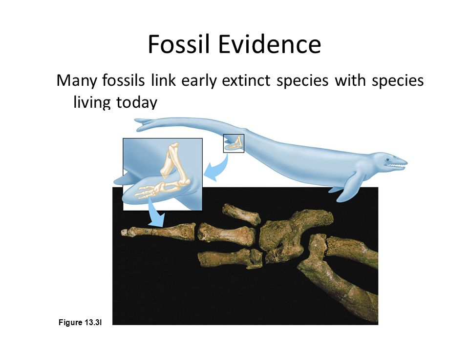 Fossil Evidence Many fossils link early extinct species with species living today. Figure 13.3I. Whales.