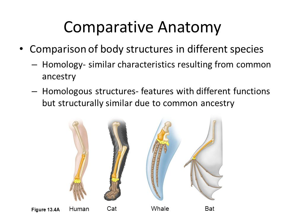 Comparative Anatomy Comparison of body structures in different species