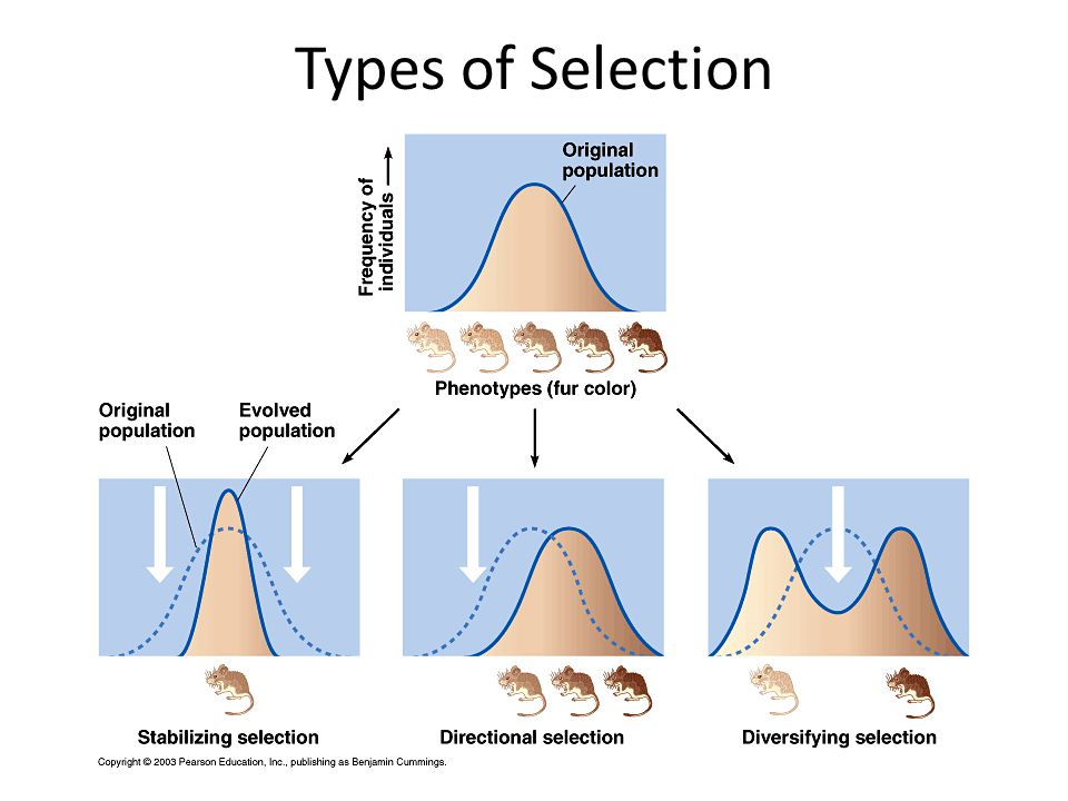 Types of Selection So, what does the culling affect on the genotypes to at the population level 3 Types of Selection.