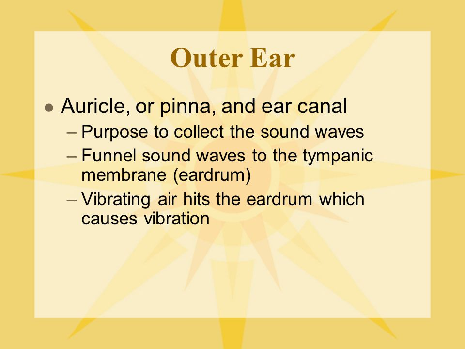 Outer Ear Auricle, or pinna, and ear canal