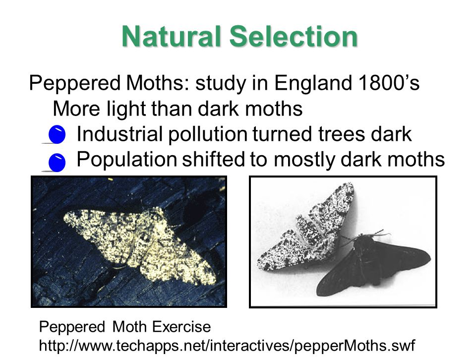 Natural Selection Experiment Moths
