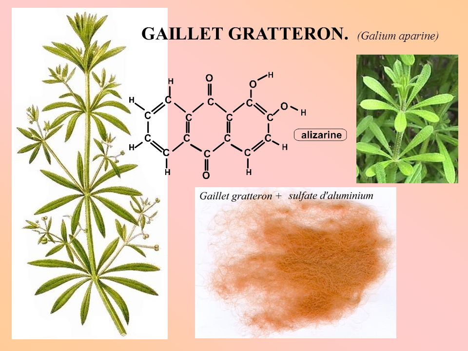 GAILLET GRATTERON. (Galium aparine)