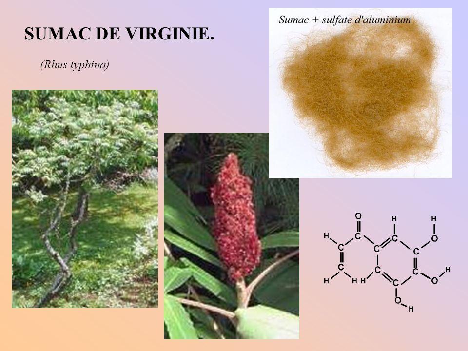 SUMAC DE VIRGINIE. (Rhus typhina)