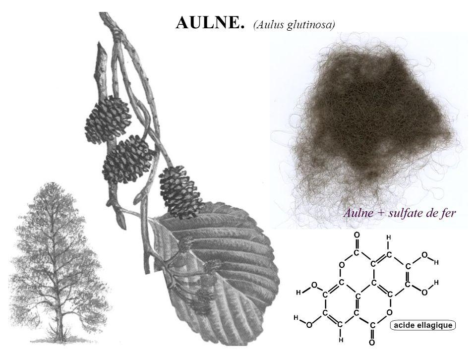 AULNE. (Aulus glutinosa)