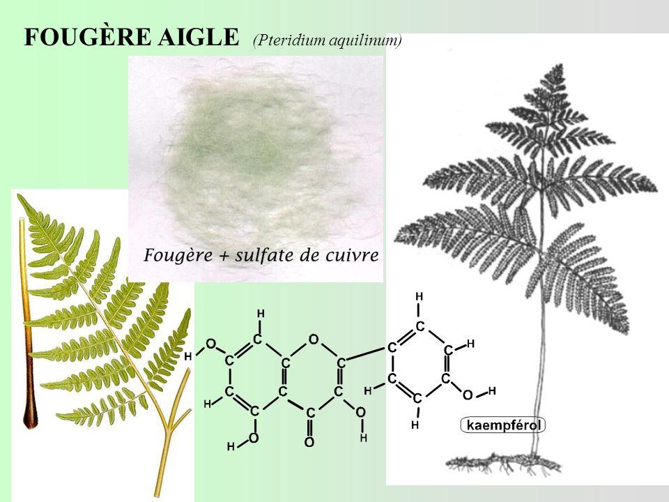 FOUGÈRE AIGLE (Pteridium aquilinum)