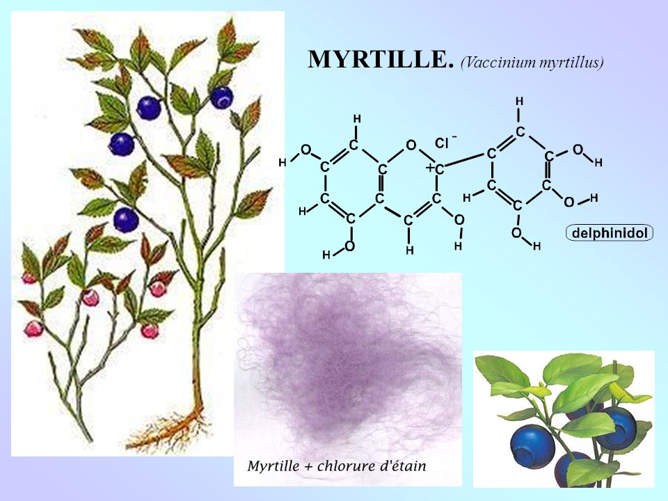 MYRTILLE. (Vaccinium myrtillus)