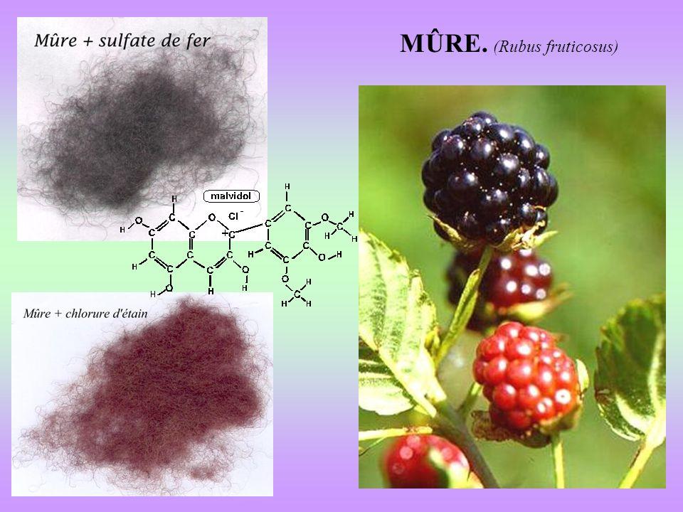 MÛRE. (Rubus fruticosus)