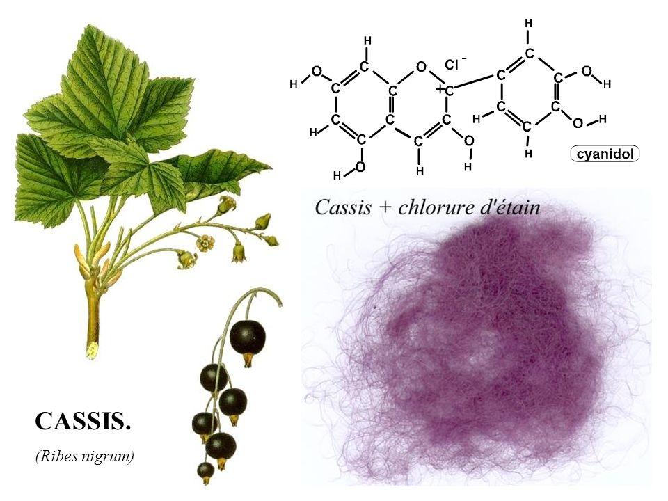 CASSIS. (Ribes nigrum)