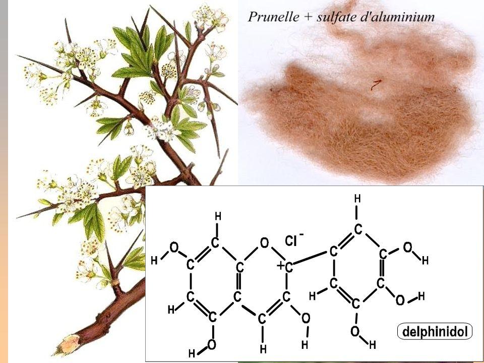 PRUNELLE. (Prunus spinosa)