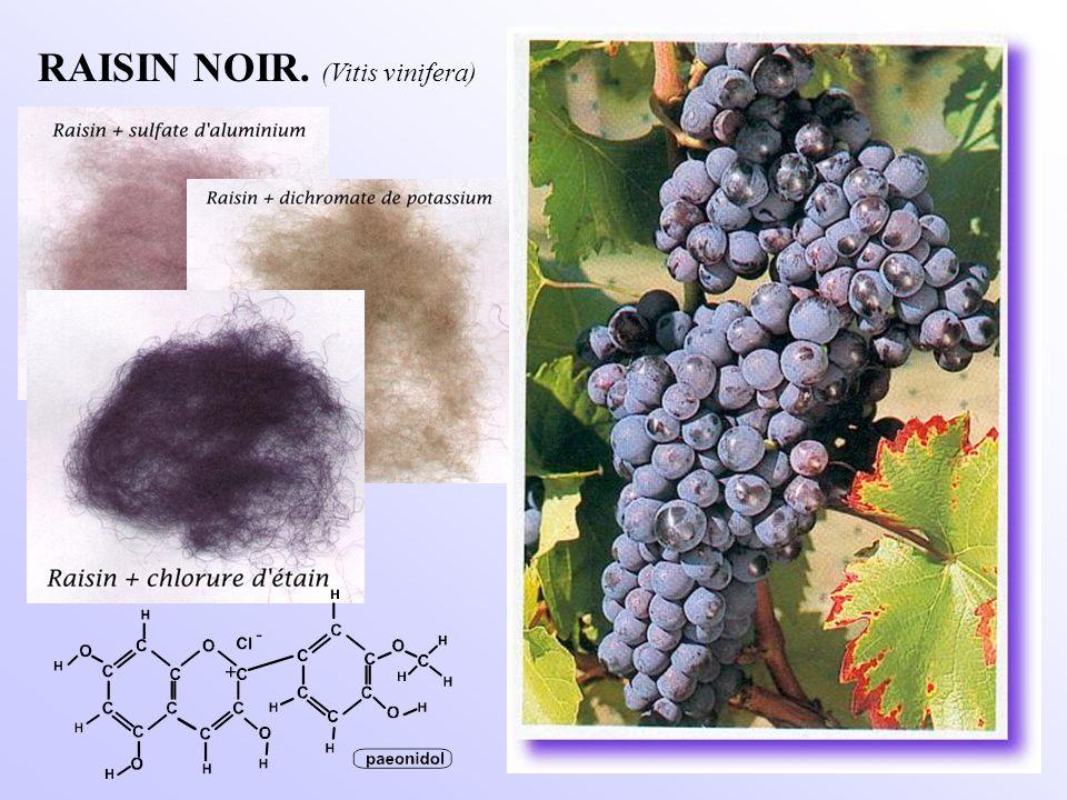 RAISIN NOIR. (Vitis vinifera)