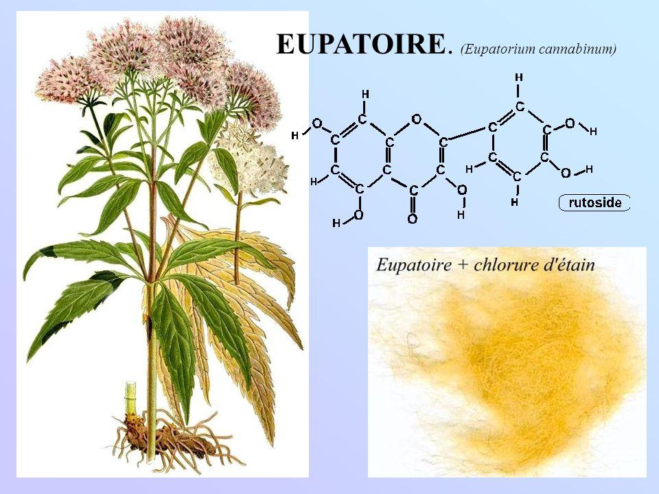EUPATOIRE. (Eupatorium cannabinum)