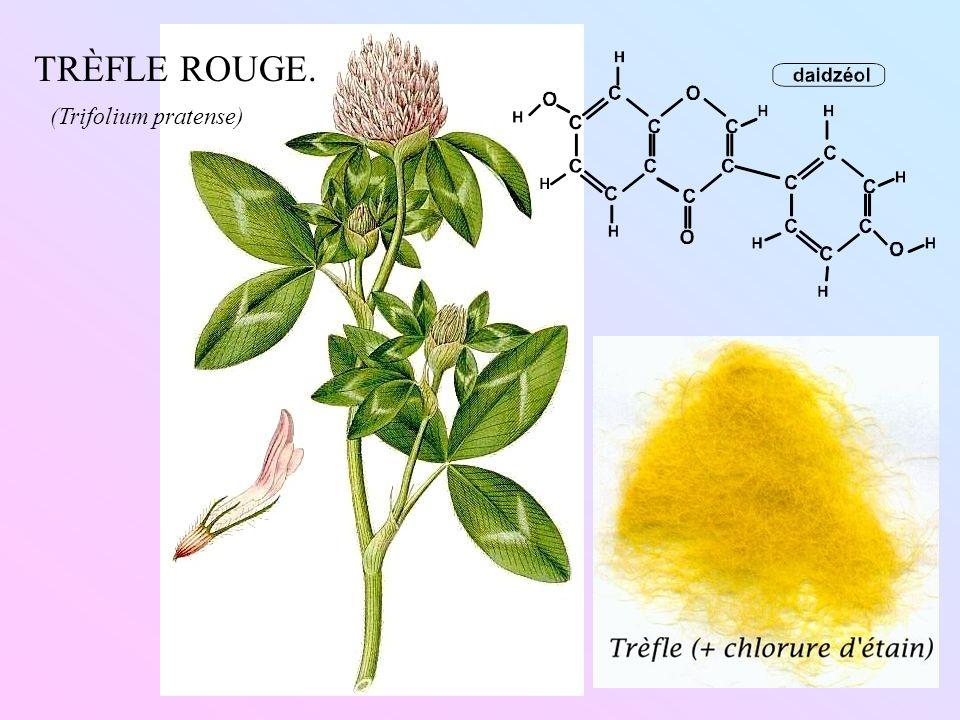 TRÈFLE ROUGE. (Trifolium pratense)