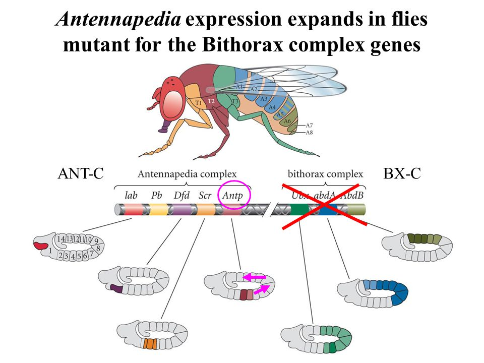 Antennapedia expression expands in flies mutant for the Bithorax complex genes