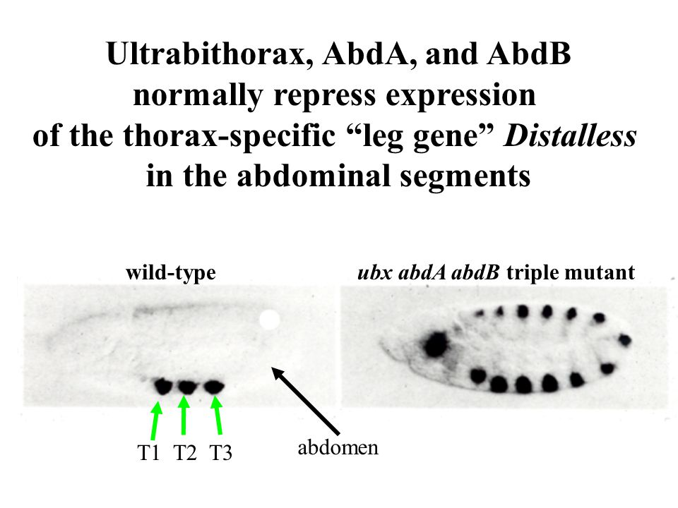 Ultrabithorax, AbdA, and AbdB normally repress expression