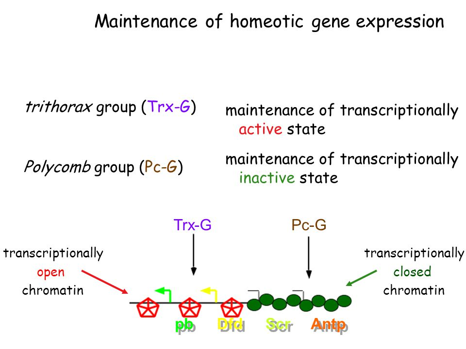 Maintenance of homeotic gene expression