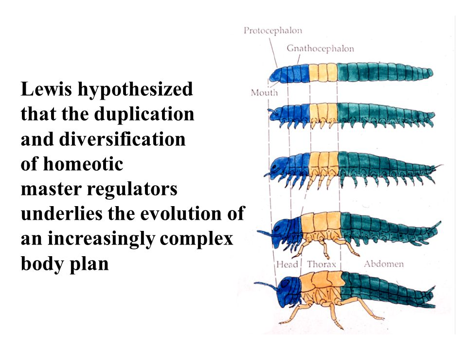 Lewis hypothesized that the duplication. and diversification. of homeotic. master regulators. underlies the evolution of.
