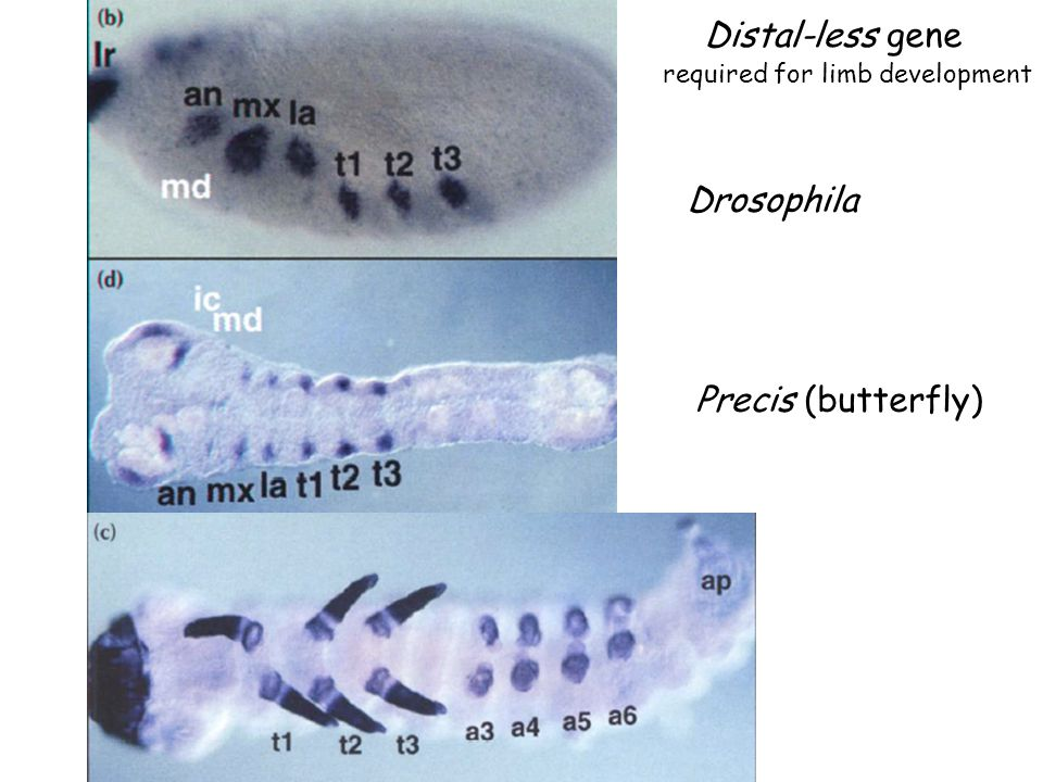Distal-less gene Drosophila Precis (butterfly)