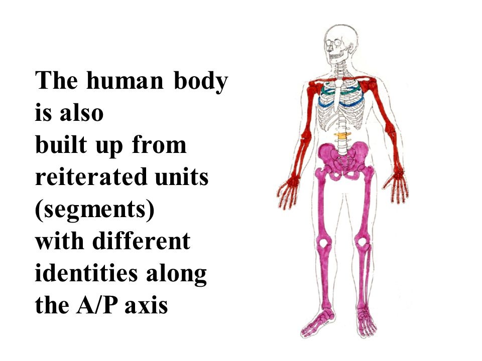 The human body is also. built up from. reiterated units (segments) with different. identities along.