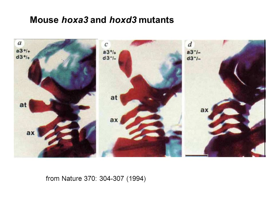 Mouse hoxa3 and hoxd3 mutants