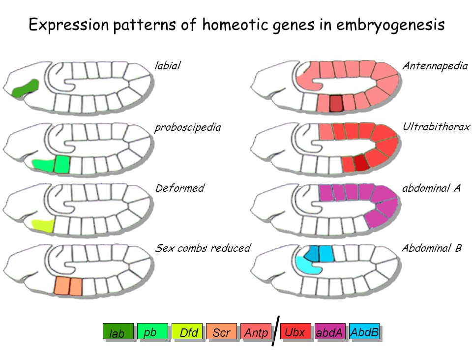 Expression patterns of homeotic genes in embryogenesis