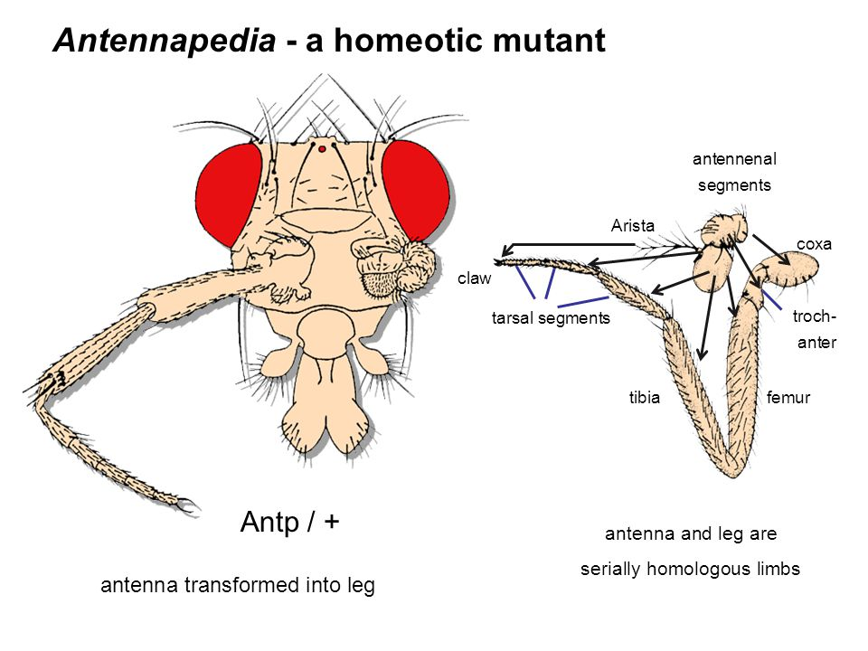 serially homologous limbs
