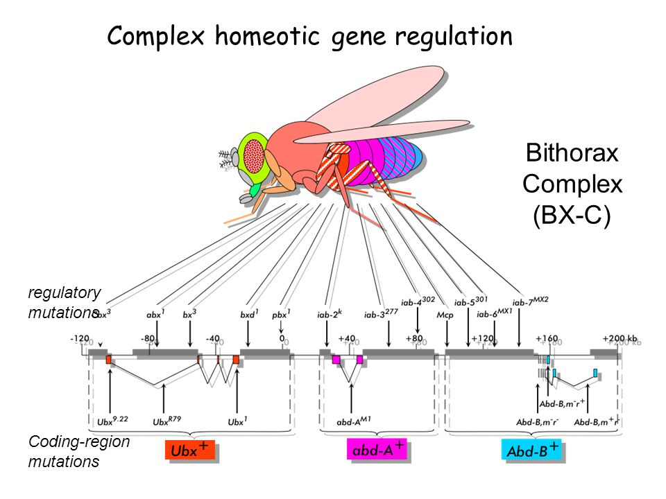 Complex homeotic gene regulation