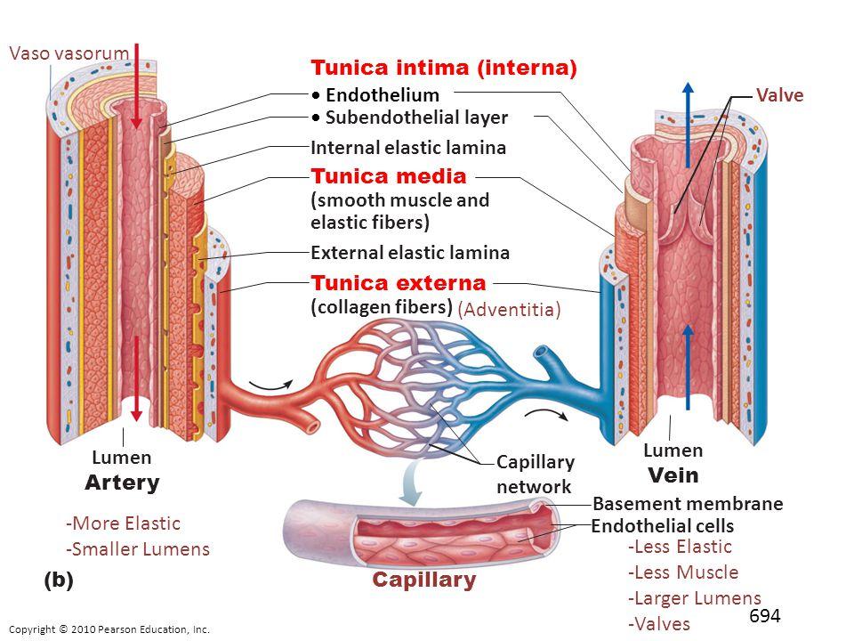 Diagram Veins Arteries Capillaries Diy Enthusiasts Wiring Diagrams