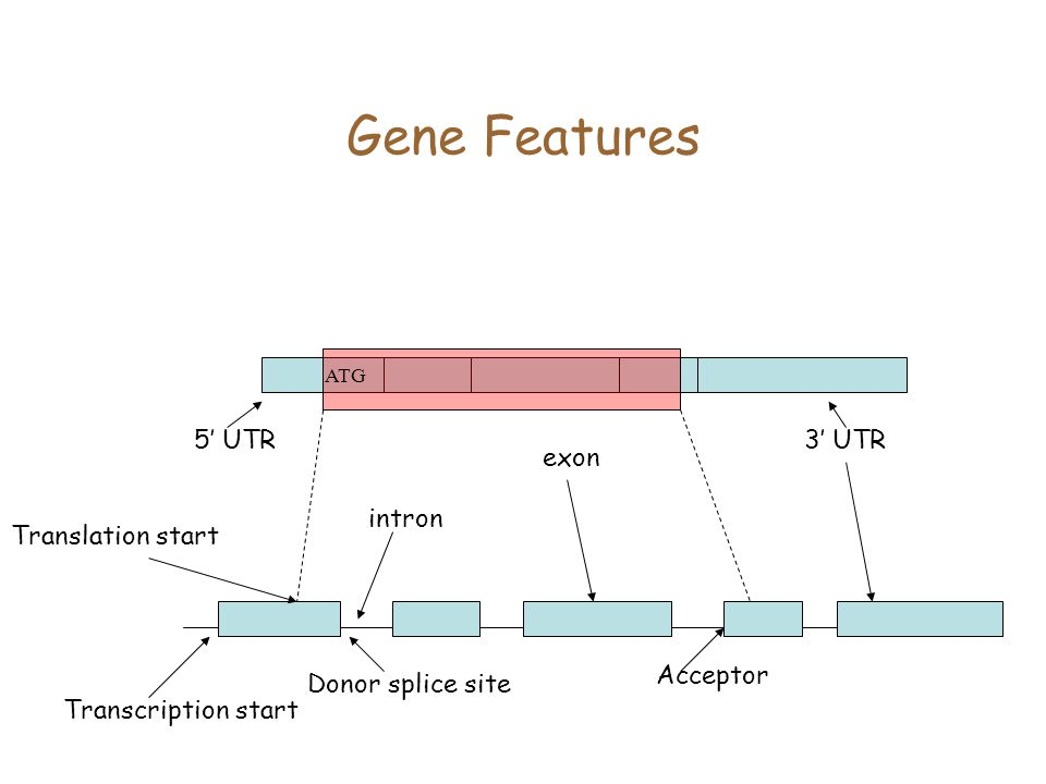 Gene Features 5' UTR intron exon 3' UTR Acceptor Donor splice site