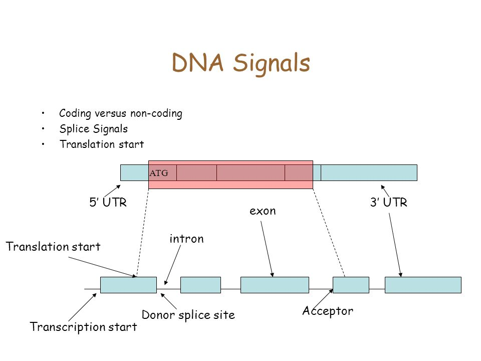 DNA Signals 5' UTR intron exon 3' UTR Acceptor Donor splice site