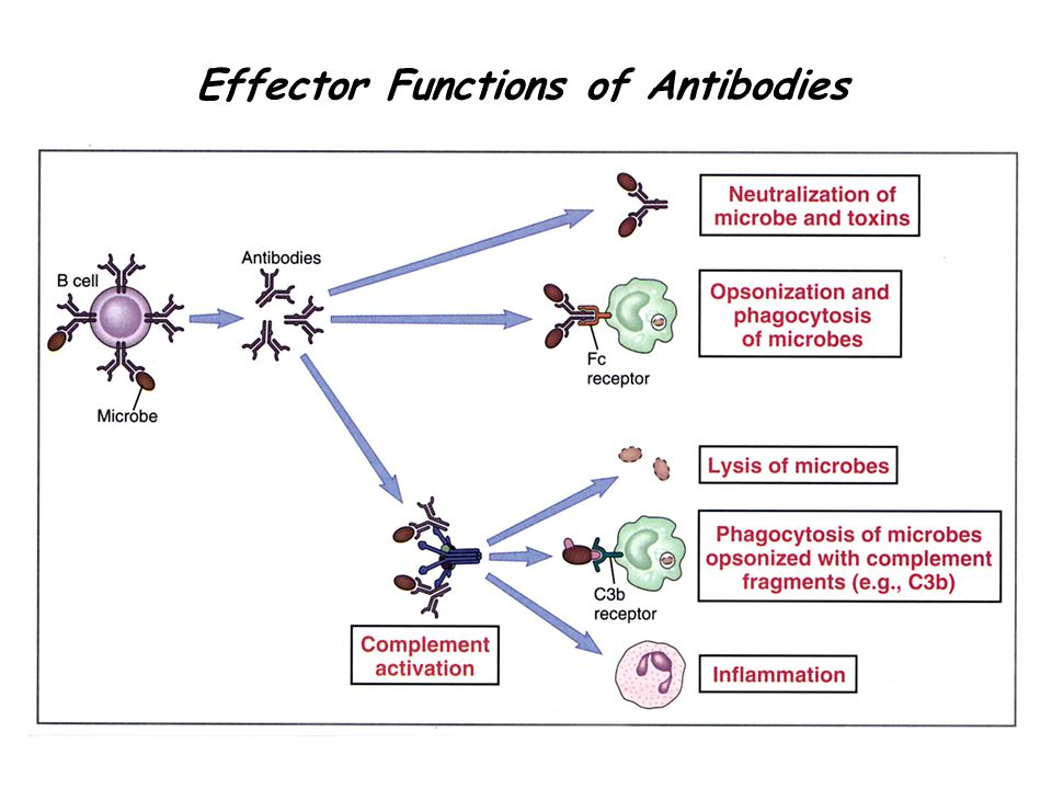 essay on effector functions of antibodies A lymphocyte is one of the subtypes of white blood cell in a vertebrate's immune system (relating to antibodies) they form effector and memory lymphocytes.