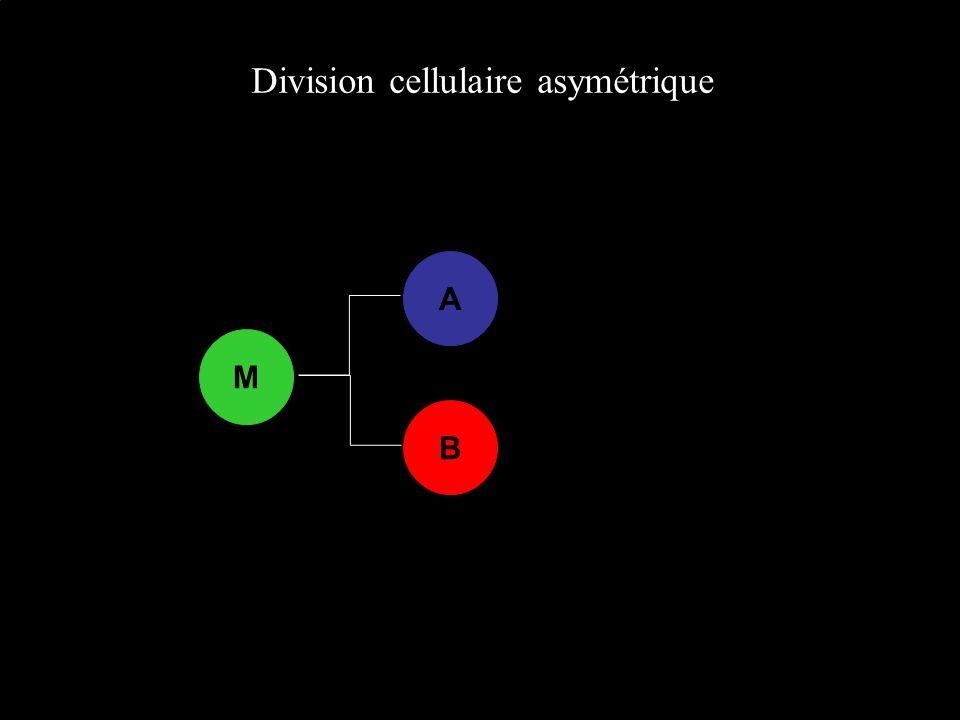 Division cellulaire asymétrique