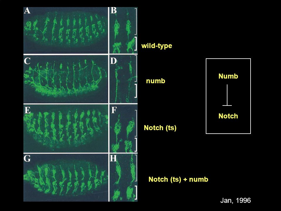 wild-type Numb numb Notch Notch (ts) Notch (ts) + numb Jan, 1996
