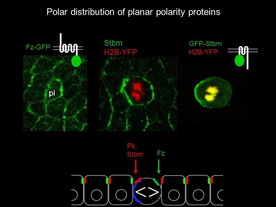 Polar distribution of planar polarity proteins