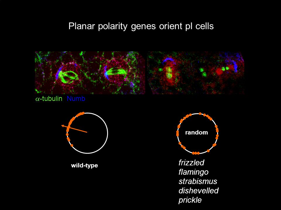 Planar polarity genes orient pI cells