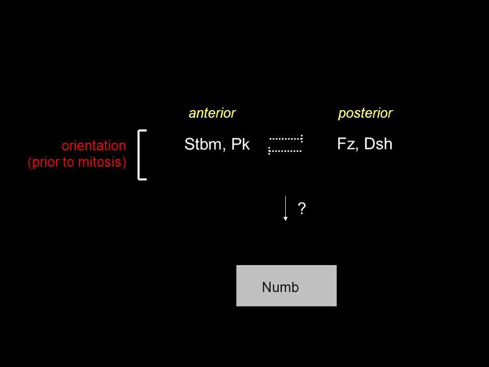 Stbm, Pk Fz, Dsh anterior posterior orientation (prior to mitosis)