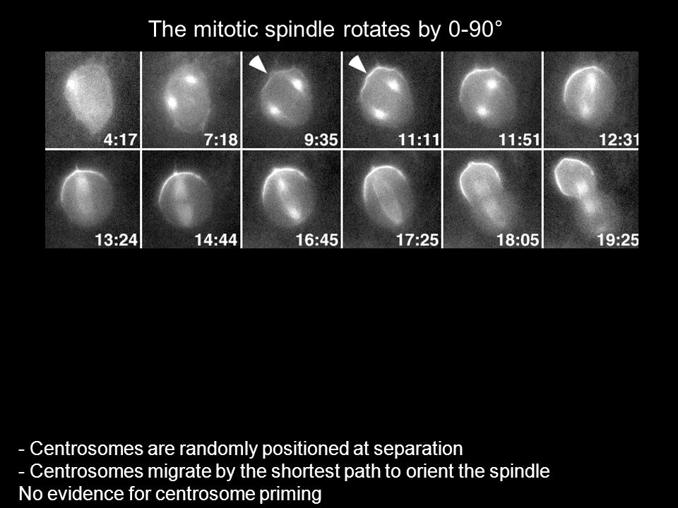 The mitotic spindle rotates by 0-90°