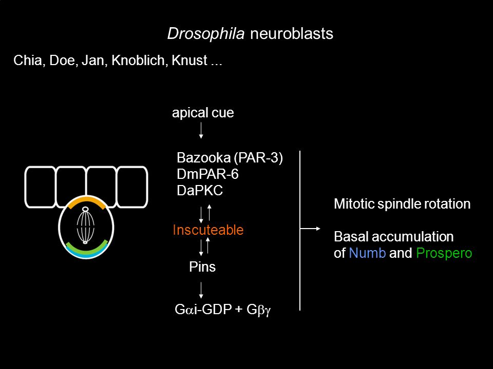 Drosophila neuroblasts