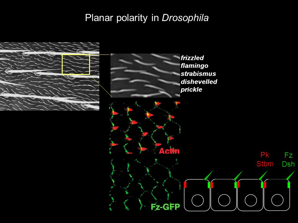 Planar polarity in Drosophila