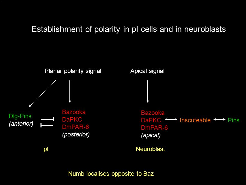 Establishment of polarity in pI cells and in neuroblasts