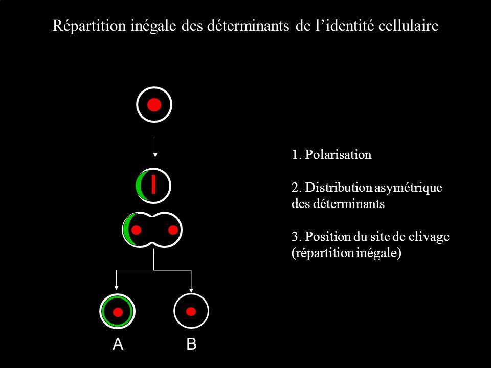 Répartition inégale des déterminants de l'identité cellulaire