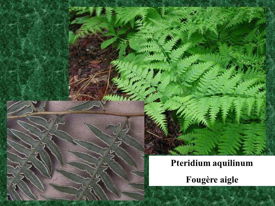 Pteridium aquilinum Fougère aigle