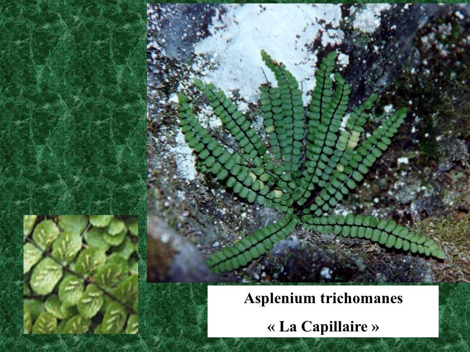 Asplenium trichomanes