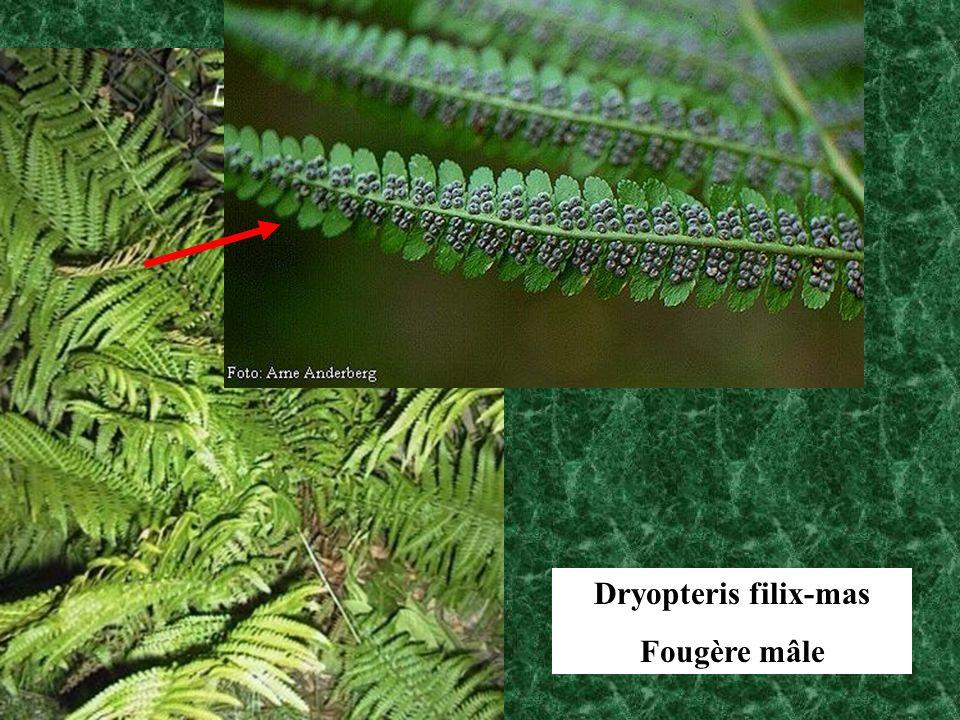 Dryopteris filix-mas Fougère mâle