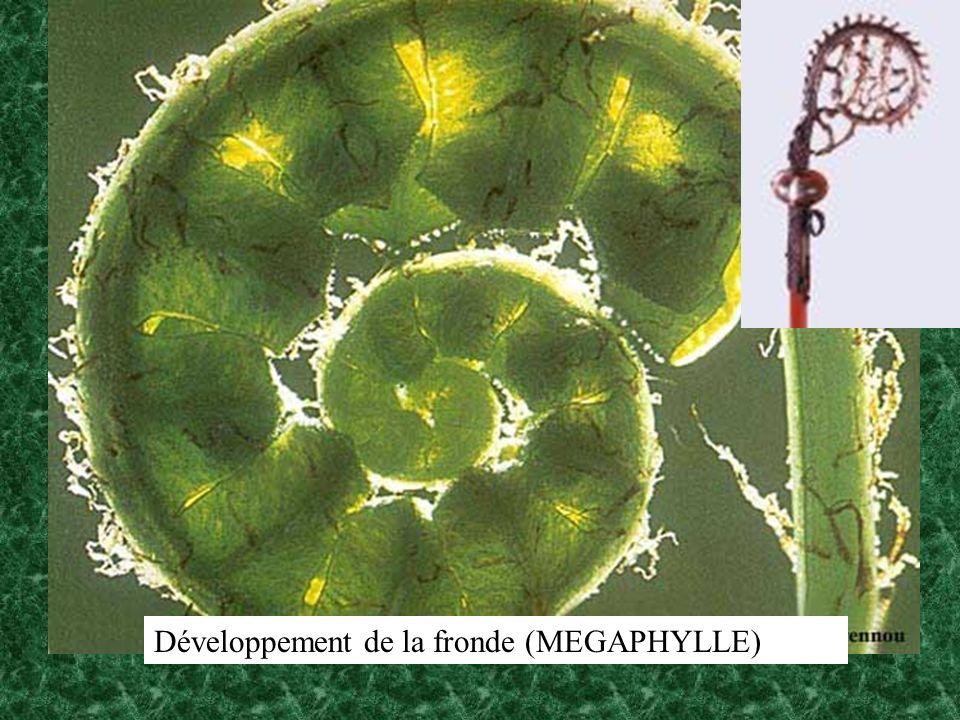 Développement de la fronde (MEGAPHYLLE)