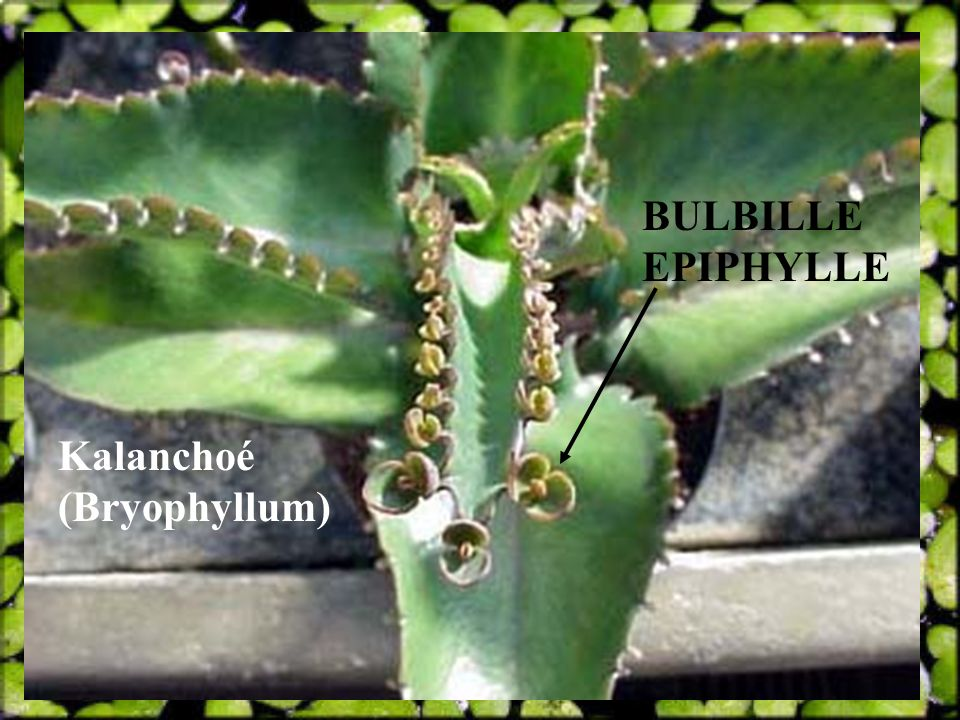 BULBILLE EPIPHYLLE Kalanchoé (Bryophyllum)