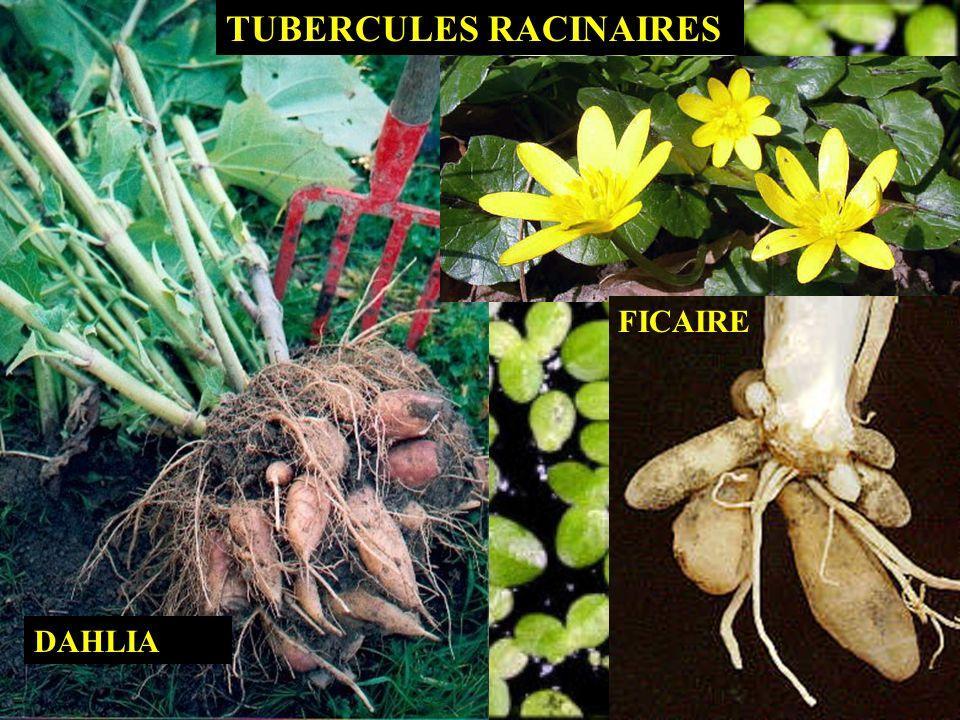 TUBERCULES RACINAIRES